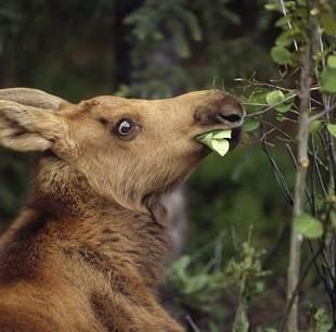 Moose Saliva and Foot Fungus